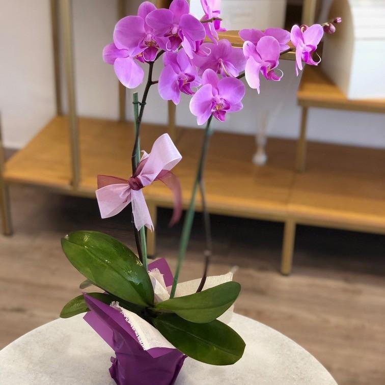 Maceta de orquídeas phalaenopsis