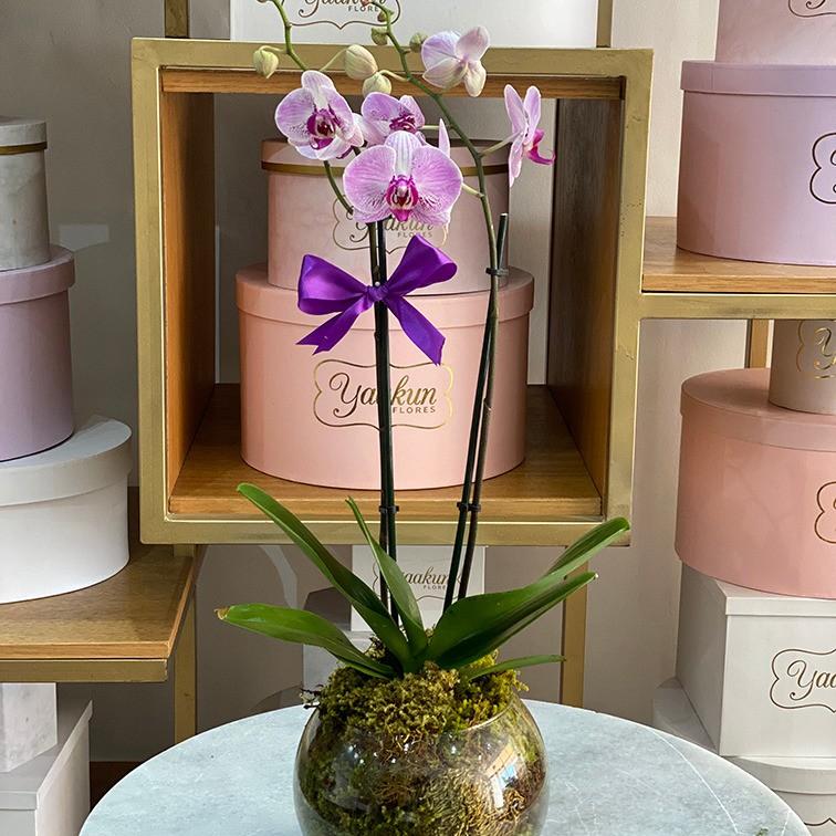 Pecera con orquídeas phalaenopsis